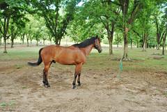 Hipismo (Thile Elissa) Tags: horse verde nature animal nikon natureza cavalo equestrian bicho gua hpica hipismo d5000 nikond5000 hpicaterrasanta