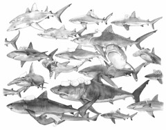 kittehs an' charks (kozyndan) Tags: drawing art pencil graphite paper shark animal illustration kozyndan kitty kitties cat carnivores hunters pangeaseed thegreatwesternmigration exhibition whycantyoupeoplecareaboutananimaljustbecauseitsnotcuddly