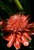 red flower 3 (steve happ) Tags: flower laos tadlo salavan