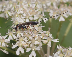 Ichneumon (Kentish Plumber) Tags: zuikodigitaled50mm120macro closeup ichneumon ichneumonidae ovipositor parasitic wasp insect nature wildlife nbw antennae legs red black wings olympus macro zuiko kent gio fourthirds kentishplumber photography photos images