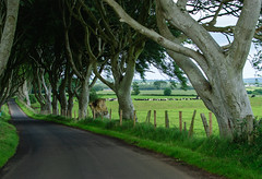bregagh road - the dark hedges (laughlinc) Tags: road trees landscape cattle pasture northernireland nikond80 28300mmf3556 darkhedges thedarkhedges thechallengefactory bregaghroad laughlinc