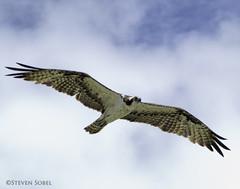 Soaring Osprey (Steven Sobel) Tags: bird nature wings florida wildlife birding flight raptor soaring osprey fz150 avianexcellence bulowcreek