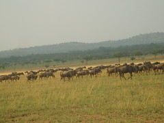 Herd of Wildebeest (Real Africa) Tags: africa wild tanzania kenya running safari herd grazing wildebeest wildebeestmigration safarianimal migrationmasimara