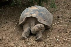 Female Giant Turtle (BradPerkins) Tags: travel southamerica ecuador turtle galapagos tortuga giantturtle galapagosislands galapagosnationalpark charlesdarwincenter