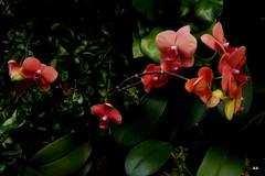 Bronx Botanical Garden (The former Madame Suzuki!!!) Tags: orchids picasa canon5d bronxbotanicalgarden