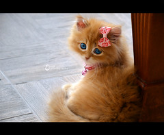 Tff in Pink  (3    d ) Tags: pink cute cat nikon kitten explore caramel toffee     3houd  ohoud