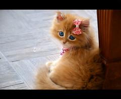 Tσffєє in Pink ♥ (3 н σ υ d ♥) Tags: pink cute cat nikon kitten explore caramel toffee وردي توفي قطوه عهود 3houd فيونكه ohoud