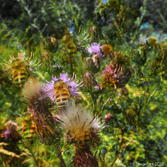 The hum of a Summer meadow (Lemon~art) Tags: summer bees thistle manipulation wildflowers