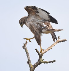 High-stepping Buzzard! (Carl Bovis Nature Photography) Tags: buzzard raptor bird birdofprey nature carlbovisnaturephotography somerset othery levels somersetlevels england uk springwatch