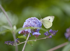 Large White Butterfly (kevinwolves) Tags: largewhitebutterfly butterfly nature wildlife insect kevinwolves nikon nikond300 nikkor55200mm