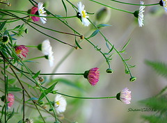 Flors - Silvestres. (salsol - Sham'C ) Tags: quintadalage northern portugal flowers flors beleza beauty color colour wildflowers silvestres europe music adele nature natural elegant stylish bokeh wild