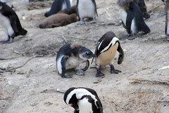Love in Cape Town (alina gnerre) Tags: love penguins citt del capo capetown southafrica sudafrica africa animals boulders beach travel