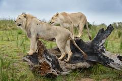 Lions, No Cage (Ron Scubadiver's Wild Life) Tags: south africa lions safari animals nature nikon 24120