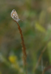 Morning Blue (jump for joy2010) Tags: uk england somerset highbridge walrowfishingponds private morning dew insects august 2016 butterfly commonblue polyommatusicarus roosting