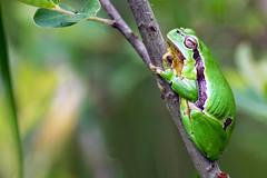 rainette verte (hylea arborea) (G.NioncelPhotographie) Tags: rainette verte grenouille macro proxy pentax amphibien