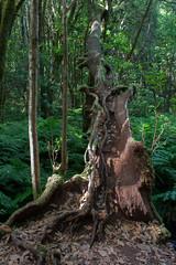 LaGomera2016 (yeray.ventura) Tags: bosque cedro paisaje naturaleza
