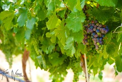 We're Doing Grape! (KerriNikolePhotography) Tags: colorado palisade winery vineyard meaderyoftherockies grapes wine vine leaves nikon nikond3000 kerrinikolephotography