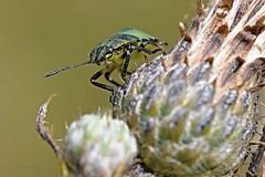 Wanze 1 (DianaFE) Tags: dianafe insekt pflanze tiefenschrfe schrfentiefe makro freihandmakro wanze distel blte
