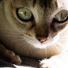 Jazzy , toujours aussi mignonne comme modle....quoique le stylo lui fasse bien envie... (peu prsente...ailleurs !) Tags: jazzy croquis portrait chat singapura yeux lumire