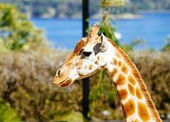Giraffe (VirtualWolf) Tags: animal australia bokeh canonef135mmf2lusm canoneos7d equipment giraffe mammal mosman newsouthwales places sydney tarongazoo techniques wildlife