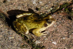 DSC_2964 (PeaTJay) Tags: nikond750 reading lowerearley berkshire macro micro closeups gardens outdoors nature reptiles amphibians frog frogs