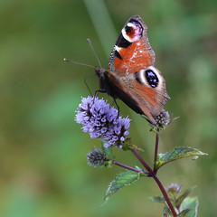 Let's try some of this mint... (liisatuulia) Tags: butterfly porkkala