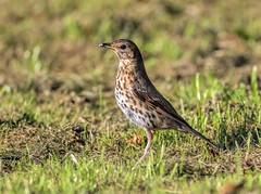 Song Thrush (Turdus philomelos) (Lathers) Tags: derbyshire 16august2016 songthrush turdusphilomelos canonef500mmf4lisusm canonef500f4lisusmcanonef14extender canoneos1dx