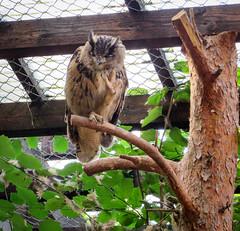 IMG_5288 (jaglazier) Tags: 2016 91416 animals bielefeld bielefeldzoo birds copyright2016jamesaglazier germany owls september teutoburg teutoburgforest teutoburgerwald zoos parks nordrheinwestfalen