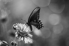 Blackened Butterfly (brev99) Tags: d7100 tamron70300vc butterfly bokeh perfecteffects10 ononesoftware nature nikviveza blackandwhite