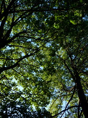 Late summer canopy (Dendroica cerulea) Tags: tree trees leaves canopy foliage summer highlandpark middlesexcounty nj newjersey