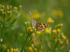 Pretty as a picture (jump for joy2010) Tags: uk england somerset stretcholt pawlett riverparrett september 2016 nature wildlife wildflower seaaster insects butterflies paintedlady vanessacardui migrant yellow green