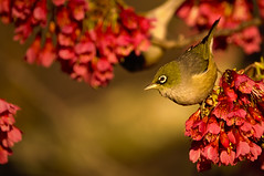 Wax-eye in the plum blossoms at golden hour (Yani Dubin) Tags: bokeh native canterbury sharp silvereye d7000 sigma waxeye pink christchurch white newzealandnative animal color plumblossoms green tree blossoms yellow lateralis plum newzealand colour 150600mmf563dgoshsm|c gimp fruittree colorful endemic nature goldenhour spring christchurchbotanicgardens darktable zosterops whiteeye plant dof bird gold