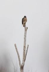 Red-tailed Hawk (glenbodie) Tags: glen bodie glenbodie dncb boundarybay 201349 redtailed hawk