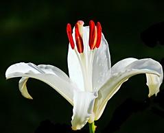 my sunday lily (sabrina. G) Tags: lilie makro garten weis sonntag
