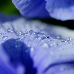droplets on blue.... (atsjebosma) Tags: nature droplets spring ngc thenetherlands violet npc raindrops groningen lente 2012 voorjaar viooltje atsjebosma regendruppeld