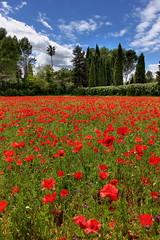 Poppies fields LTN (decar66) Tags: flowers red primavera clouds spring mediterranean poppies poppyfields ontinyent amapolas amapola adormidera onteniente lavalldalbaida campodeamapolas salvabarbera