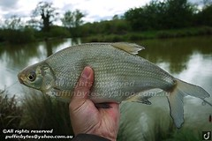 Bream - Abramis brama (puffinbytes) Tags: greatbritain england animals unitedkingdom carps bream essex animalia minnows cyprinidae cypriniformes chordates chordata actinopterygii rayfinnedfishes abramis abramisbrama taxonomy:kingdom=animalia taxonomy:phylum=chordata taxonomy:class=actinopterygii taxonomy:family=cyprinidae taxonomy:order=cypriniformes leuciscinae spb:lid=00an spb:country=uk spb:id=01f5 spb:species=abramisbrama spb:pty=f taxonomy:subfamily=leuciscinae taxonomy:genus=abramis taxonomy:species=brama taxonomy:binomial=abramisbrama taxonomy:common=bream spb:pid=0kct