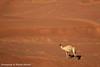 سفينة الصحراء (Khalid Alkaabi) Tags: canon الصحراء 500d رملية جمل رمل سفينة ناقة كثبان