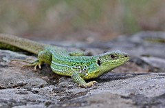 Lacerta trilineata / Balkan Green Lizard (ganglionn) Tags: life wild macro green art nature ecology animal animals fauna canon turkey eos us photo all dragon image photos reptile wildlife trkiye picture sigma photographic lizard turquie trkei dslr predator makro biology lizards turkije animalia trabzon balkan herpetology turqua turchia  lacerta 105mm turkki reptilia xpress varanus turkiet chordata turecko bilateria deuterostomia vertebrata gnathostomata tetrapoda squamata durana toruko turcia eukaryota lacertidae yomra eumetazoa 60d lacertinae trilineata colorphotoaward varanid  tp flickrunitedaward teoki