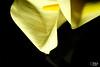 calla-1 (Soniett@) Tags: il mio fiore preferito
