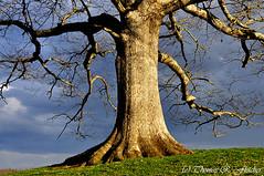 White Oak Tree Storm Clouds (travelphotographer2003) Tags: usa storm green ecology clouds spring solitude westvirginia serenity refreshing darksky appalachianmountains whiteoak beautyinnature quercusalba webstercounty appalachianfarm