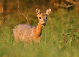 Golden hour roe deer doe