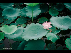After rain (雨後) (dyorex) Tags: guangzhou china plant flower color green rain lotus canton 廣州 海珠湖