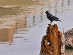 Corvus monedula / grajilla (chemazgz) Tags: españa fauna spain europa aves zaragoza animales animalia aragón vertebrata vertebrados naturalezadepresiondelebro faunadepresiondelebro naturalezazaragoza faunazaragoza