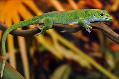 Madagascar Day Gecko (Foto Martien (thanks for over 2.000.000 views)) Tags: holland macro verde green netherlands dutch groen reptile nederland vert tropical gecko grn noordoostpolder geotag flevoland gekko a77 macrophoto geotagging reptilia tropisch reptiel macrofoto macroopname luttelgeest daygecko reptilie madagascardaygecko cuijas gecos madagaskardaggekko madagaskartaggecko orchideenhoeve salamanquesas gecnidos daggekko martienuiterweerd martienarnhem mygearandme mygearandmepremium minoltamacro100mm28mm mygearandmebronze mygearandmesilver mygearandmegold ringexcellence dblringexcellence fotomartien tplringexcellence tuqueques gecodiurnodemadagascar sonyslta77v sonyalpha77 tutecas geotaggedwithgps phelsumademadagascar guecos gembas