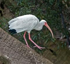 Walking Ibis (billkominsky ) Tags: green wetlands cay