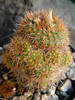 Frailea pumila (chrysacantha) (Succulents Love by Pasquale Ruocco (Stabiae)) Tags: cactus cactaceae stabiae succulenta frailea cactusco pasqualeruocco succulentslove