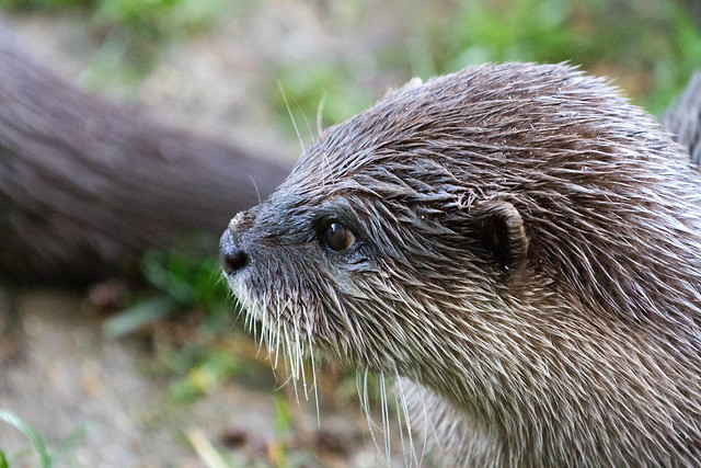 Short Clawed Asian Otter