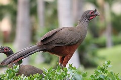 """Chachalaca Bird • <a style=""""font-size:0.8em;"""" href=""""http://www.flickr.com/photos/77680067@N06/7356553824/"""" target=""""_blank"""">View on Flickr</a>"""