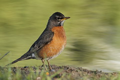 Robinhood (East Wind) Tags: bird nature robin canon nationalpark wildlife grandteton americanrobin grandtetonnationalpark photocontesttnc12 dailynaturetnc12 photoofthedaynwf12